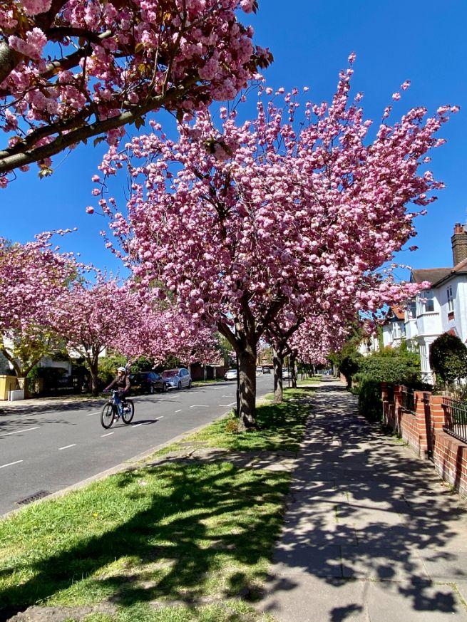 Staveley Rd blossom April 10 - Jennifer Griffiths_web