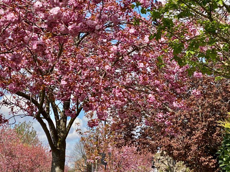 Staveley Rd blossom April 15 - Jennifer Griffiths_web