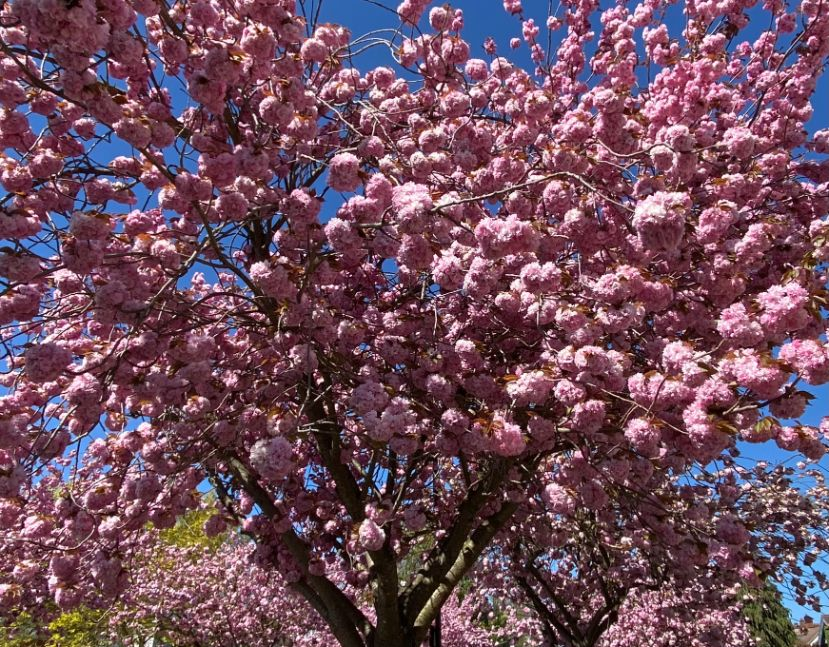 Staveley Rd blossom April 17 - Jennifer Griffiths_web