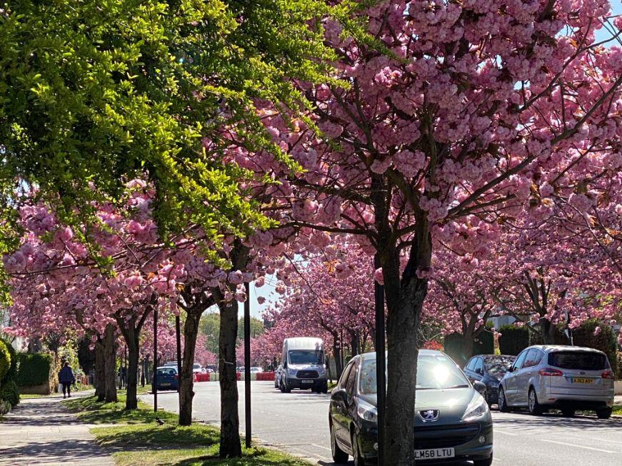 Staveley Rd blossom April 19 - Jennifer Griffiths_web