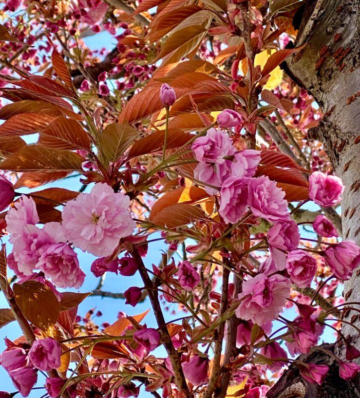 Staveley Rd blossom April 3 - Jennifer Griffiths_web