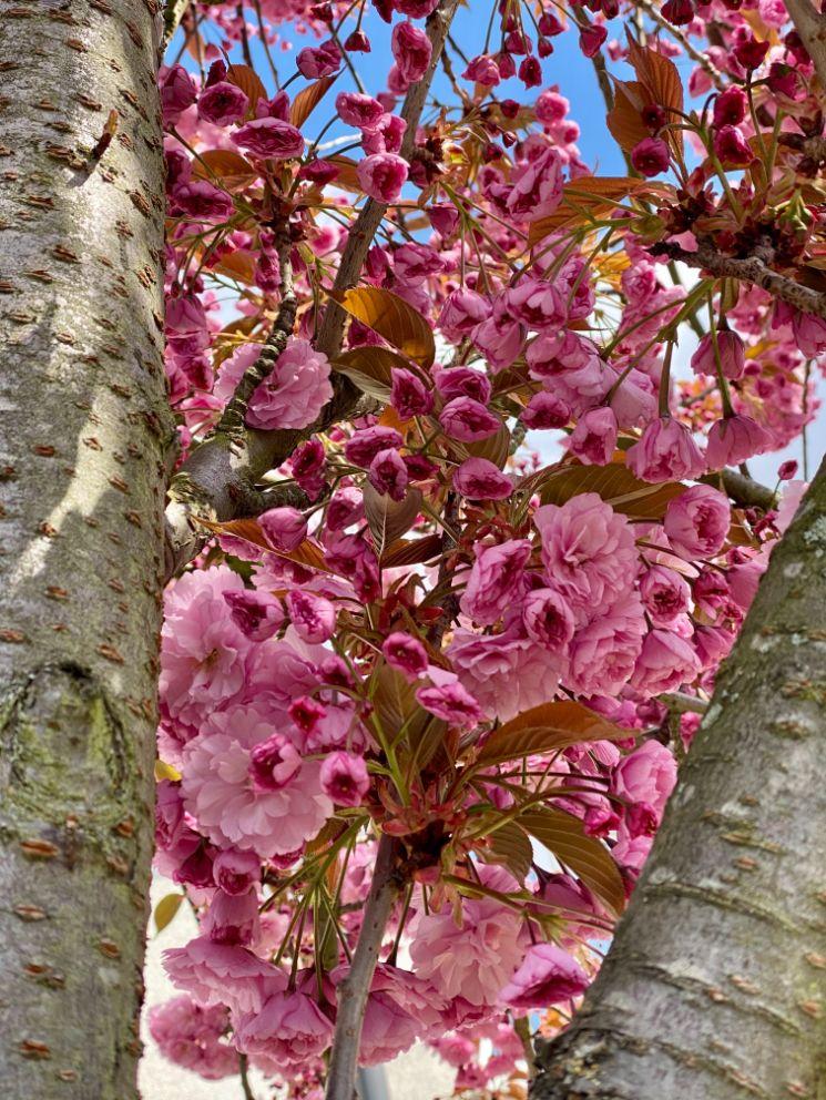 Staveley Rd blossom April 8 - Jennifer Griffiths_web
