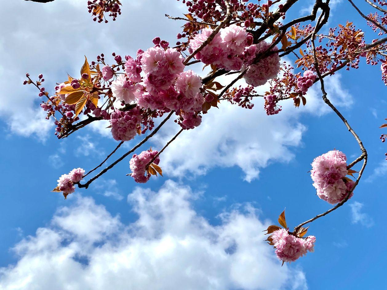 Staveley Rd blossom April 9 - Jennifer Griffiths_web