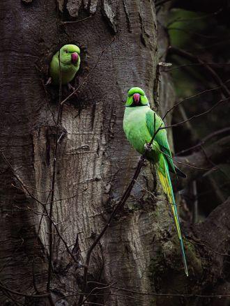 A17 - Ringnecked Parakeet - Animals
