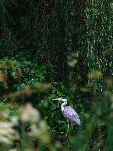 NW08 - Grey Heron - Natural World