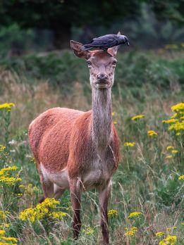 S03 - Red Deer & Jackdaw - Serendipity