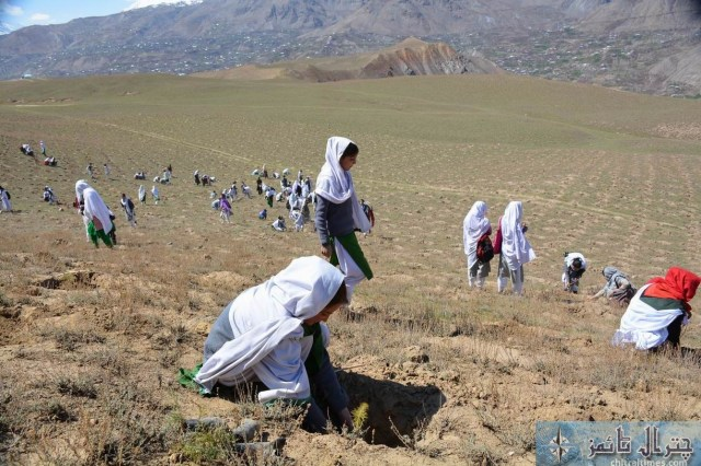 Chitral students are participating in a plantation campaign raised by District Administration and Forest department in Qaqlasht Mastuj pic by Saif ur Rehman Aziz
