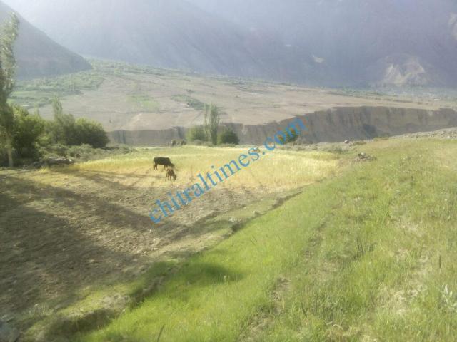 chitraltimes gochgal raman laspur water shortage4