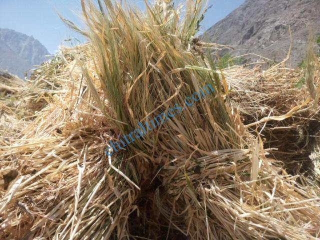 chitraltimes gochgal raman laspur water shortage8
