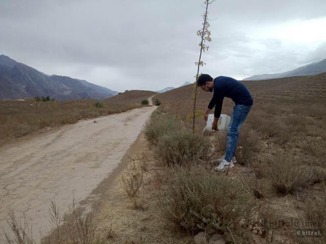 chitraltimes cheps plantation2