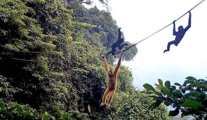 Conservation: Bridge of hope for world's rarest primate