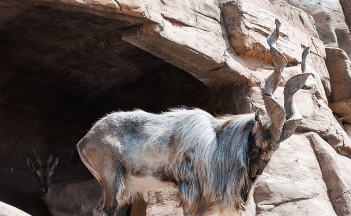 American hunts markhor with 41-inch horns