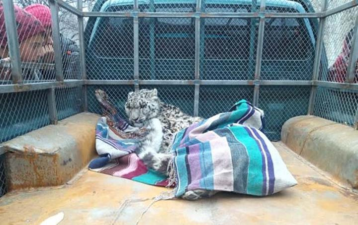 Injured snow leopard caught by villagers