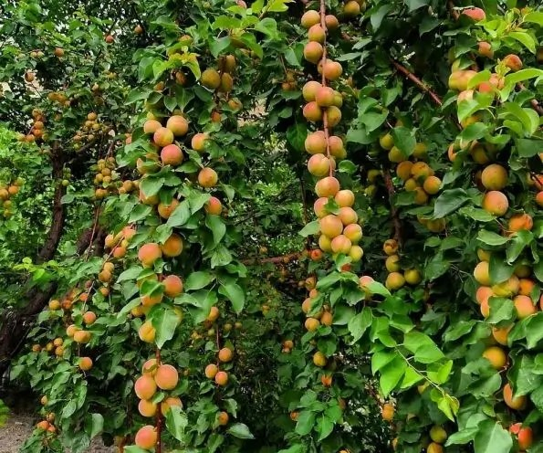 Horticulture, fruits in Chitral