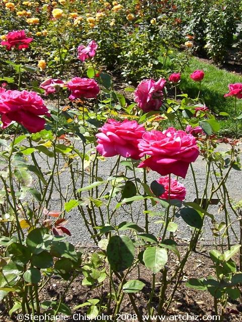 To the Peggy Rockefeller Rose Garden!!!