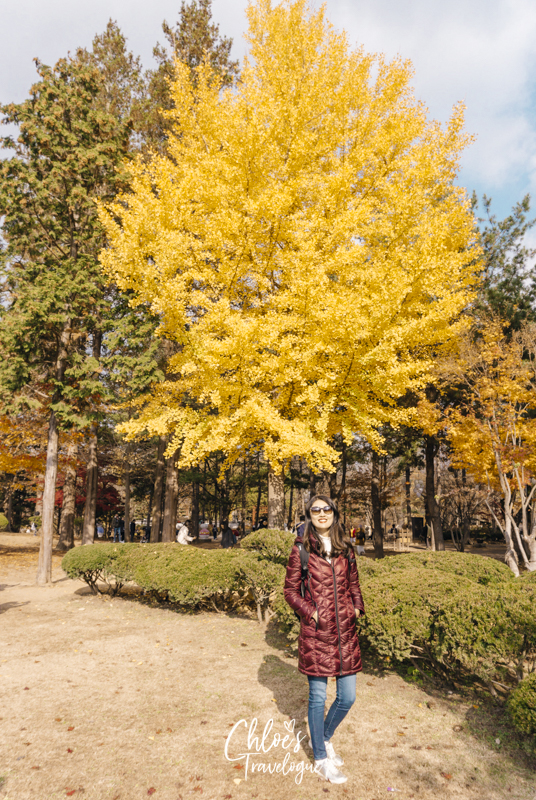 What to Do in Nami Island | 9. Stroll along Tree-lined Roads | #NamiIsland #NamiIslandAutumn #AutumninKorea #travelkorea #asiatravel #Gingko