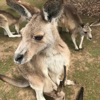 Australien Kangaroo