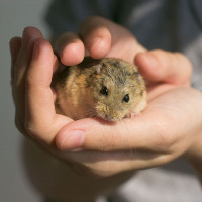 What Are the Parts of a Hamster Body?   Choose Hamster Cages
