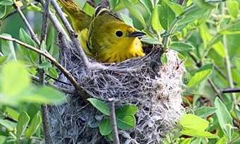 The right native shrubs can attract nesting birds like this yellow warbler.