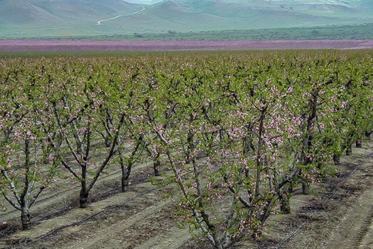 Almond crop in California. Almonds need honey bees for pollination.