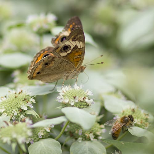 Clustered mountain mint (Pycnanthemum muticum) is not preferred by rabbits.