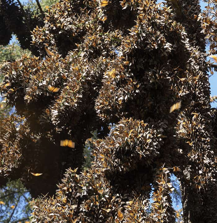 Monarch butterflies completely cover tree branches in El Rosario, Mexico in 2019.