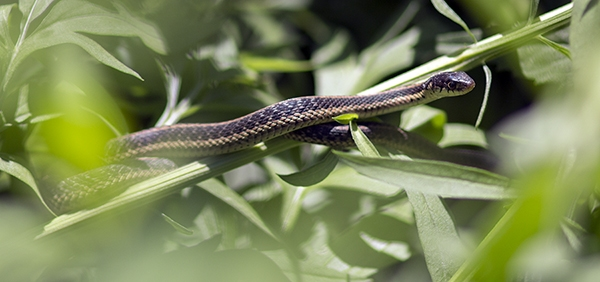 A garter snake basks in a native plant garden where there previously was lawn.