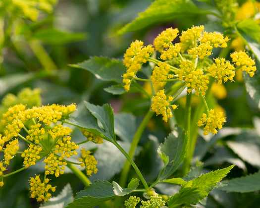 The pollen of golden-alexanders (Zizia aurea) supports specialist bees.