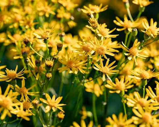 The pollen of golden ragwort (Packera aurea) supports specialist bees.