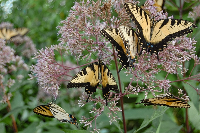 Joe pye weed (Eutrochium spp.) is a great attractor of large-winged butterflies like these eastern tiger swallowtail butterflies.