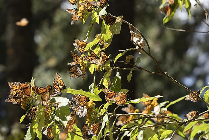 Monarch butterflies hang onto branches in El Rosario, Mexico.