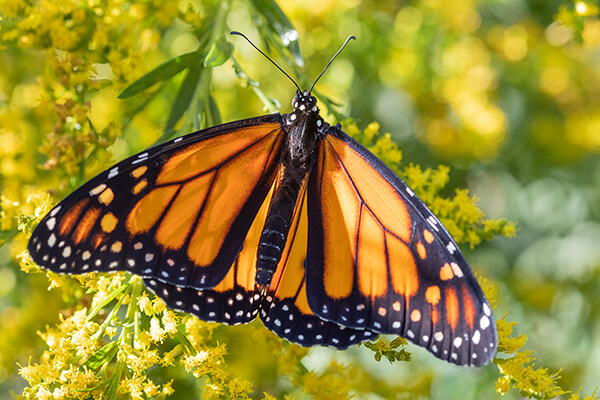 A monarch butterfly nectars on golden rod (Solidago spp.).