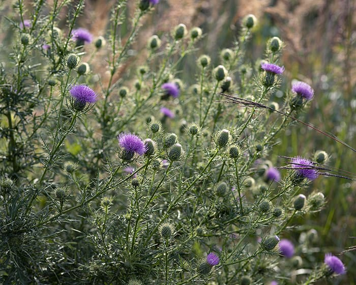 The pollen of the native field thistle (Cirsium discolor) supports specialist bees.