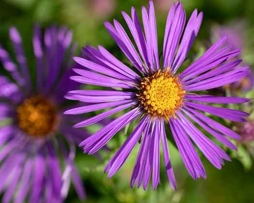 The pollen of New England aster (Symphyotrichum novae-angliae) supports specialist bees.