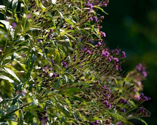 The pollen of New York ironweed (Vernonia noveboracensis) supports specialist bees.