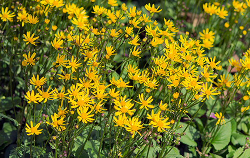 Golden ragwort (Packera aurea) is a great alternative to English ivy.