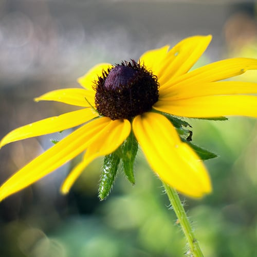 Black-eyed Susan (Rudbeckia hirta) is not preferred by rabbits.