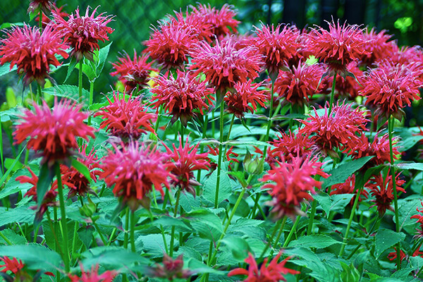 Scarlet beebalm (Monarda didyma) planted en masse for hummingbirds and other creatures.