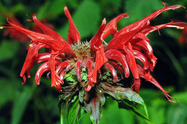 Scarlet beebalm (Monarda didyma) is a good plant for hummingbirds and also for insects like butterflies.