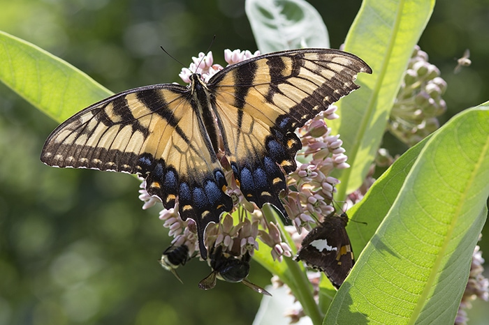 Common milkweed (Asclepias syriaca) attracts many flower visitors and pollinators like this eastern tiger swallowtail.