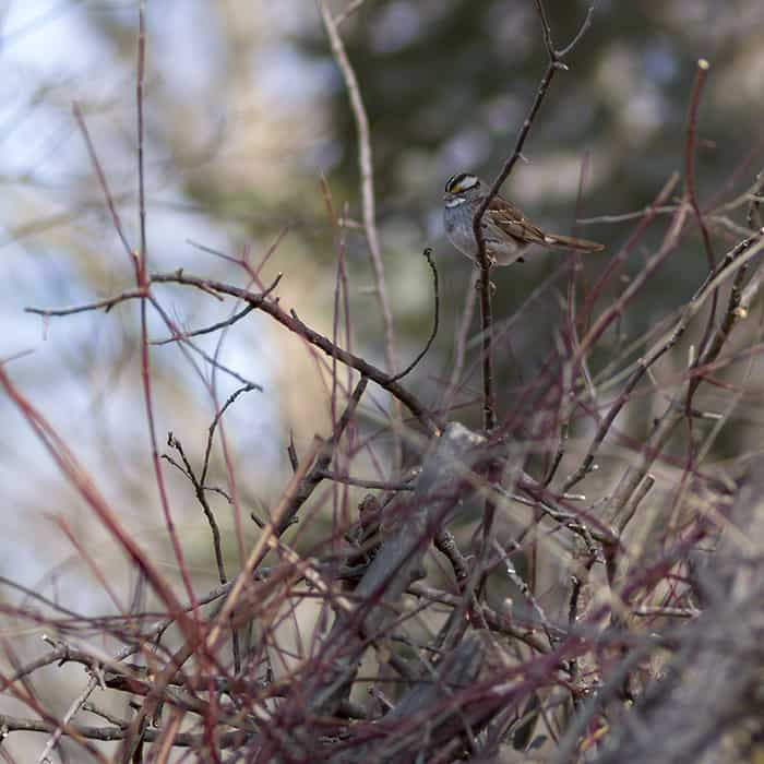 A white-throated sparrow perched on a brush piles. Brush piles are beneficial to wildlife seeking shelter.