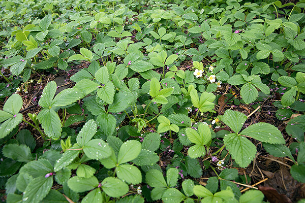native plant ground cover wild strawberry (Fragaria virginiana) grows in a garden.