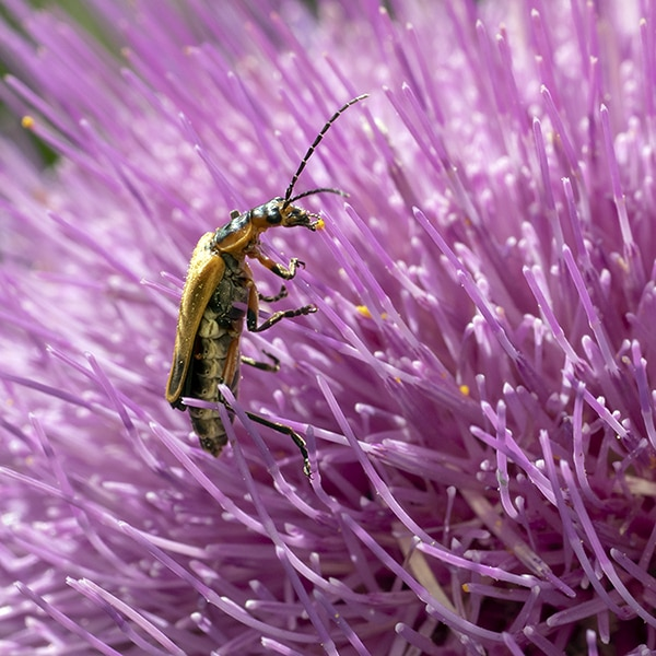 Pasture thistle (Cirsium pumilum) supports all sorts of insects.