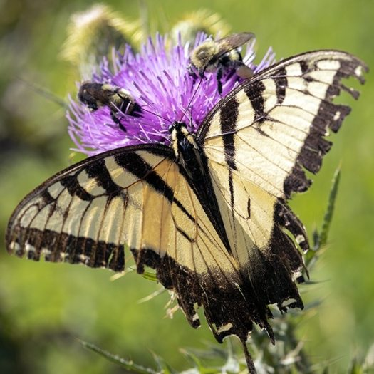 Pollinators find native thistles irresistible.