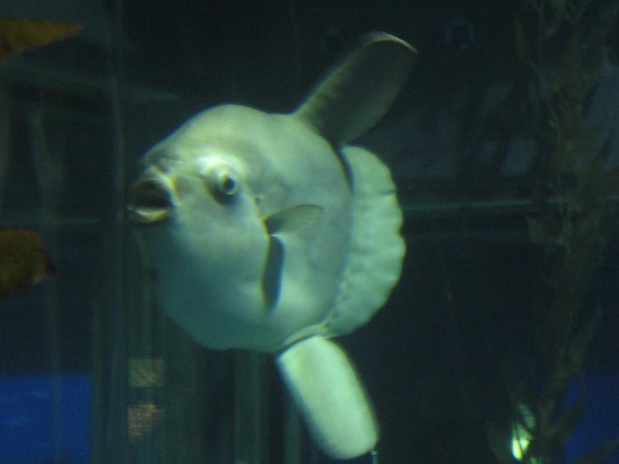 Ocean.Sunfish
