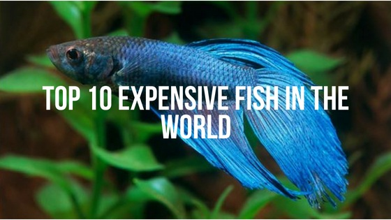Top 10 Expensive Fish in The World