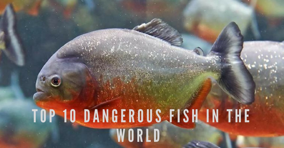 Top 10 Dangerous Fish in The World