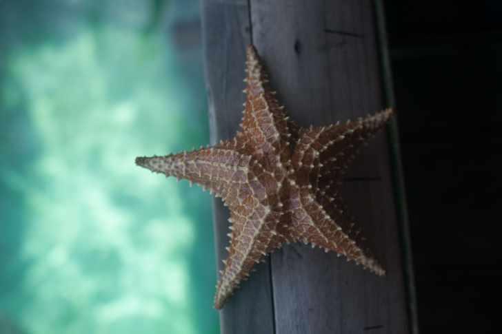 Starfish in Bocas del Toro, Panama.