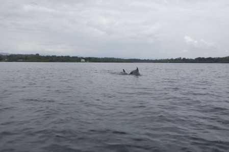 Dolphins in Bocas del Toro, Panama.
