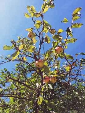 Orchard in Carkeek Park in Seattle, Washington.